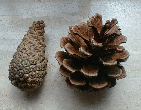 anatomy03 pine cones Статья: Анатомия Смауга
