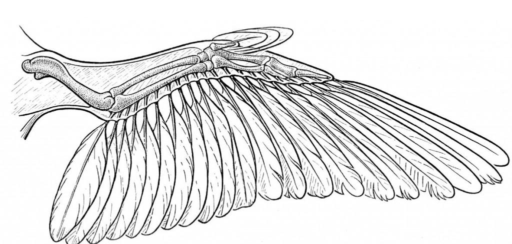 anatomy15 bird 1024x489 Статья: Анатомия Смауга